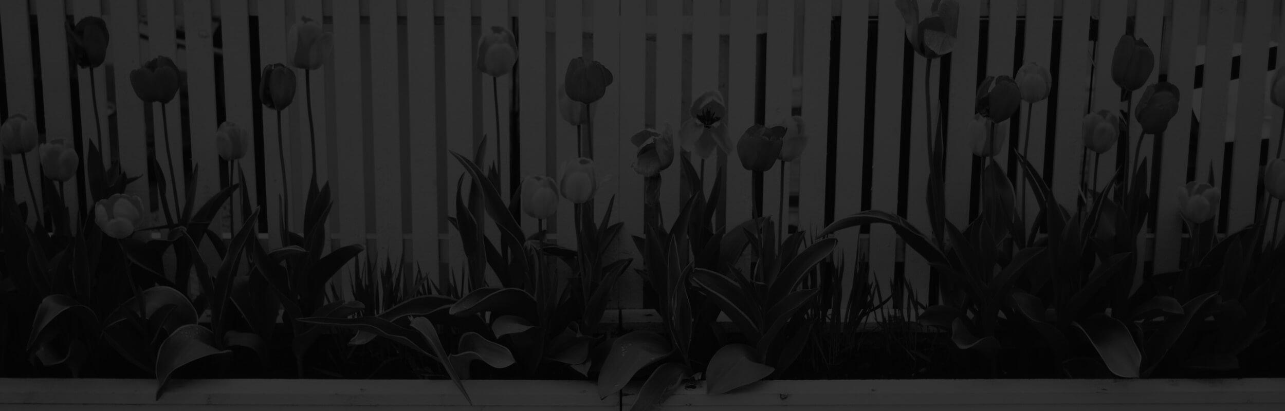 tulipány na plote